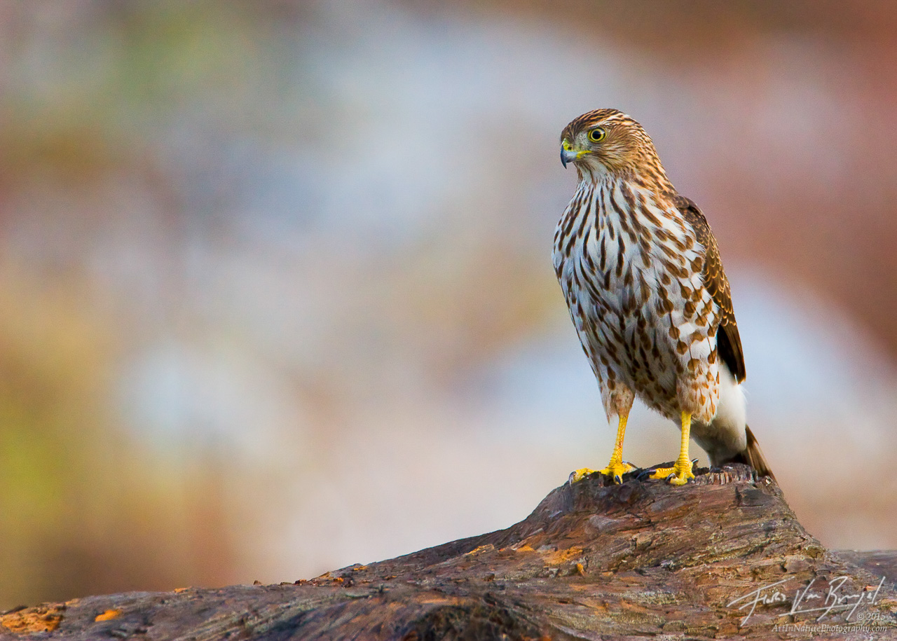 Cooper's Hawk Accipiter cooperii, Eaton Canyon, California, photo