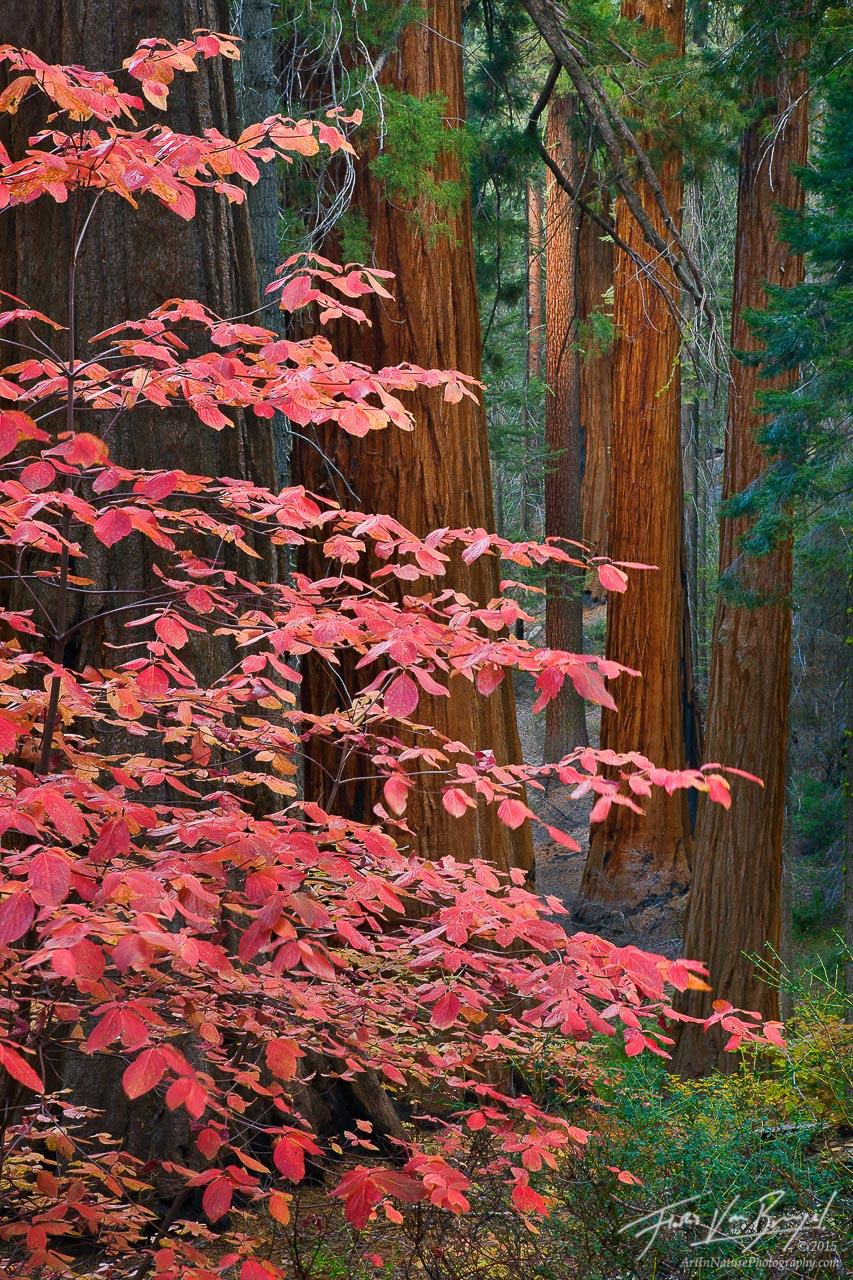 Fall Dogwoods, Sequoia National Park, California, giant sequoias, photo