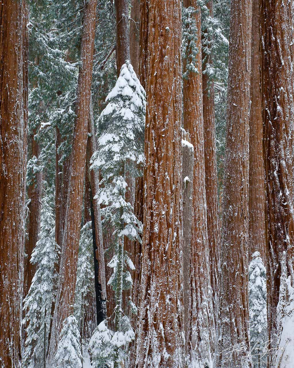 Winter Snow Giant Sequoias, Sequoia National Park, California, grove, photo