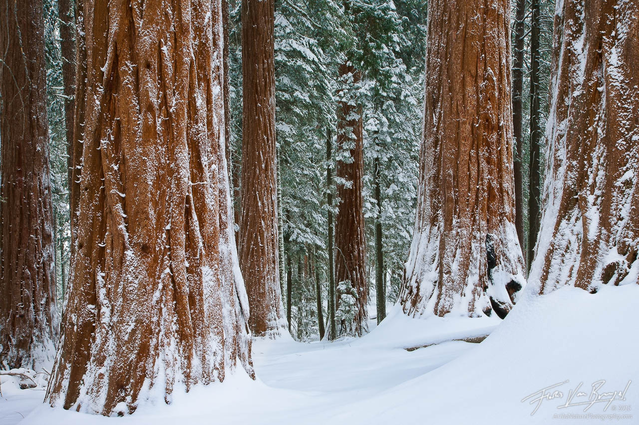 Snowy Winter Sequoia Grove, Kings Canyon National Park, California, winter wonder woods, photo