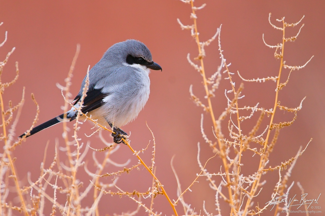 Loggerhead Shrike (Lanius ludovicianus), Owens Valley, California, owens river, , photo