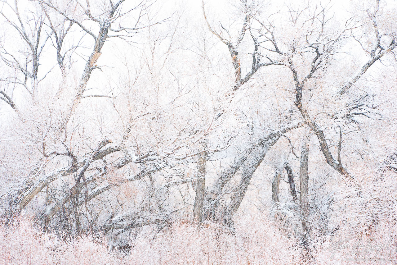 Cottonwoods in Snow, Owens Valley, California, cotton dreams, Bishop, photo