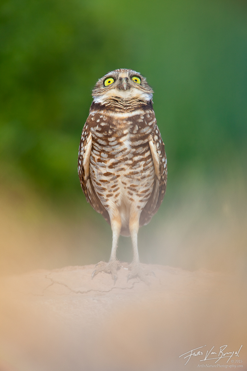 Silly Burrowing Owl Antics (Athene cunicularia), Salton Sea, California, , photo