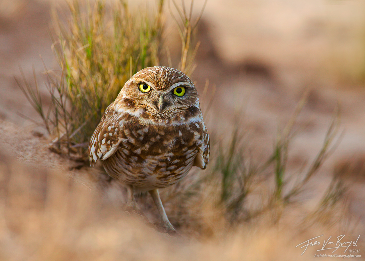 Burrowing Owl, Salton Sea, California, photo