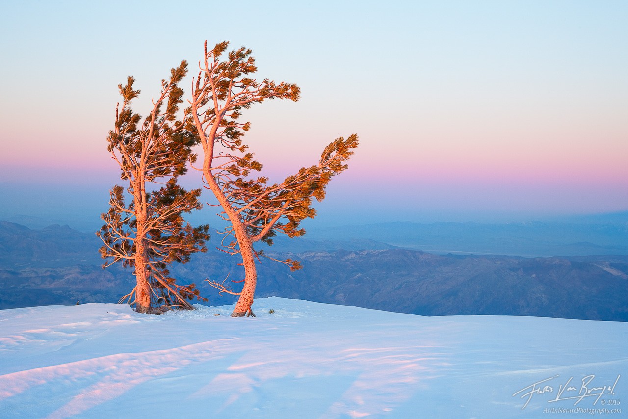 Winter Trees on Telescope Peak, Death Valley National Park, California, limber pine, alone and in love, photo