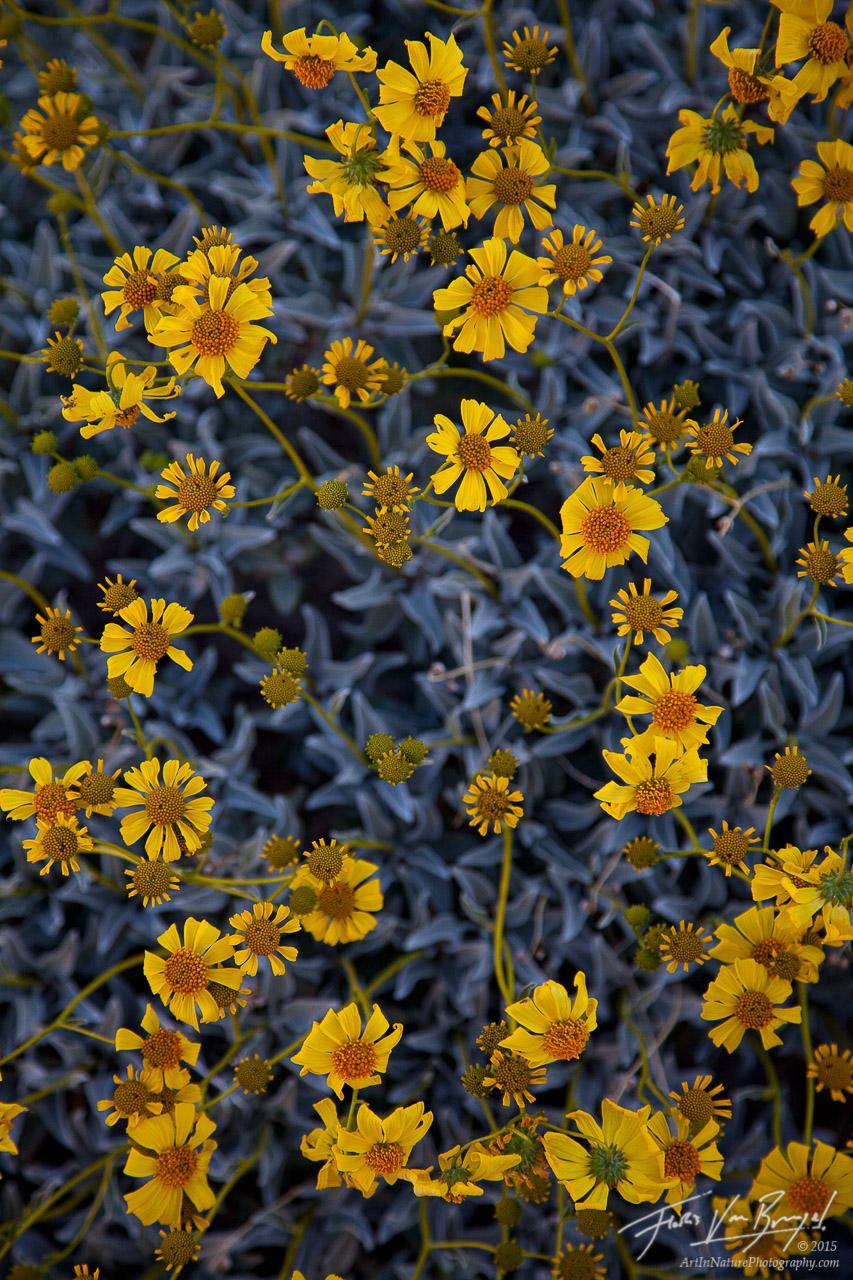 Brittle Brush Desert Blooms, Anza-Borrego State Park, California, spring, photo