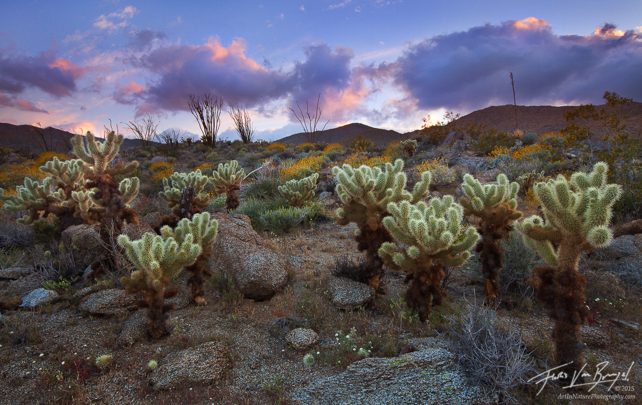 Teddy Bear Cholla Cactus Sunset, Anza-Borrego State Park, California, desert, photo