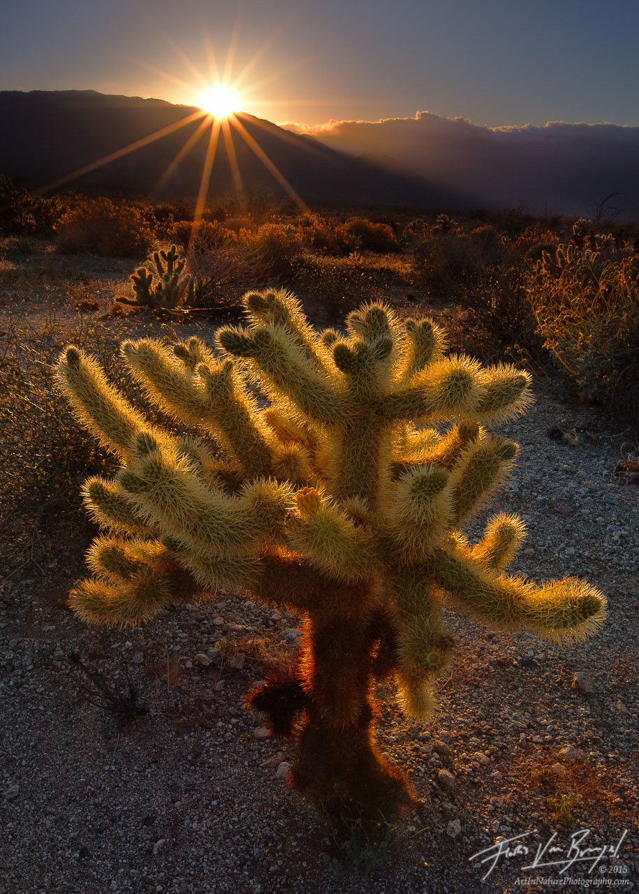 Cholla Cactus and Sun, Anza-Borrego State Park, California, spiny fella, photo