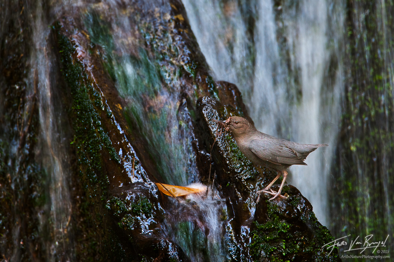 American Dipper (Cinclus mexicanus), San Gabriel Mountains, California, nesting, waterfall, stream, photo