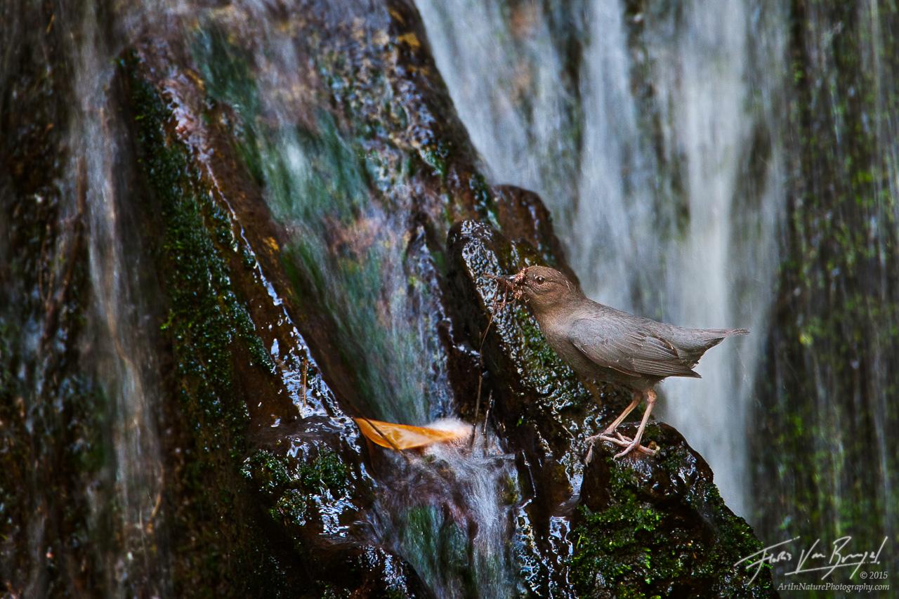 American Dipper (Cinclus mexicanus), San Gabriel Mountains, California, nesting, waterfall, stream, photo