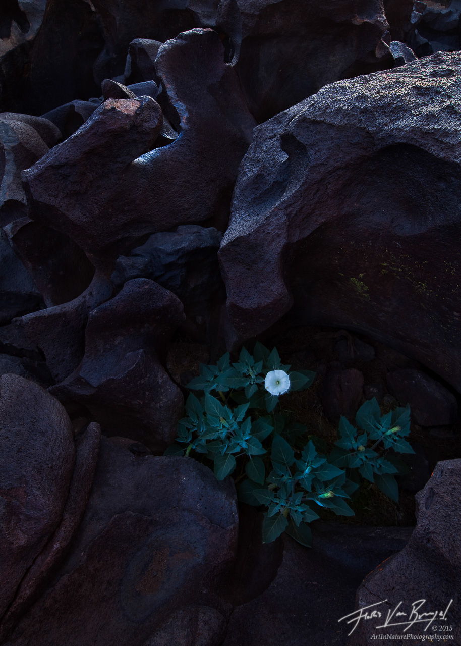 Sacred Datura at Fossil Falls, Owen's Valley, California, karma, Datura wrightii, basalt, photo
