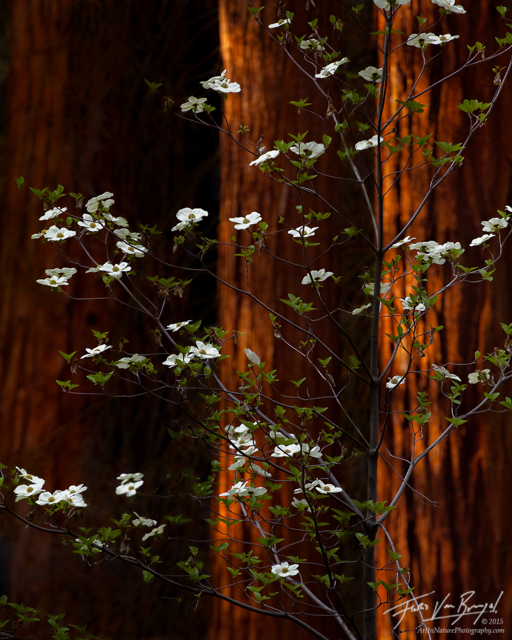 Spring Dogwoods and Giant Sequoias, Sequoia National Park, California, photo