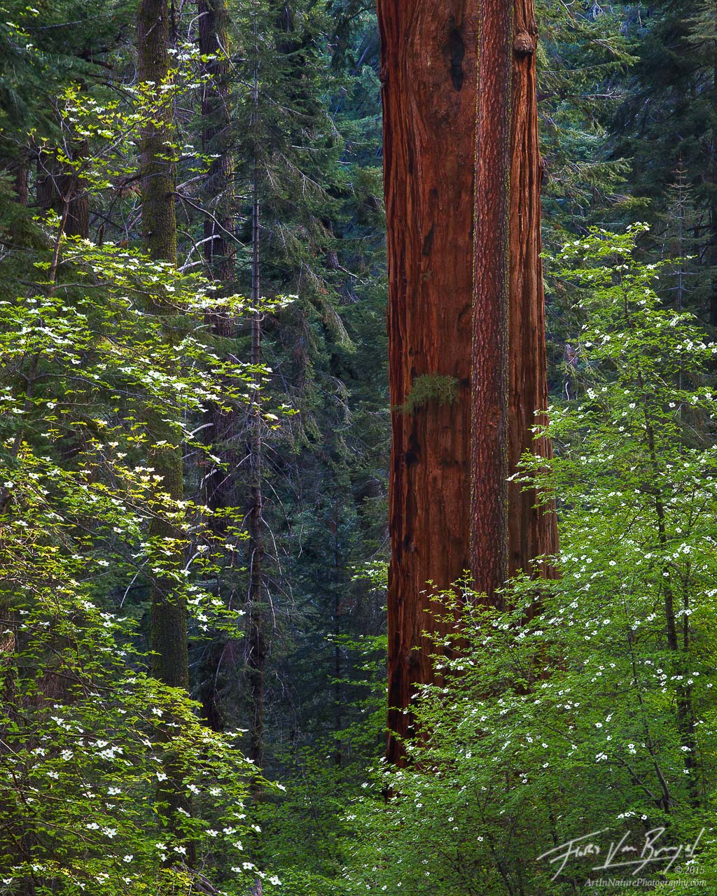 Spring Dogwoods and Sequoia, Sequoia National Park, California, flowers for giants, giant sequoia, , photo