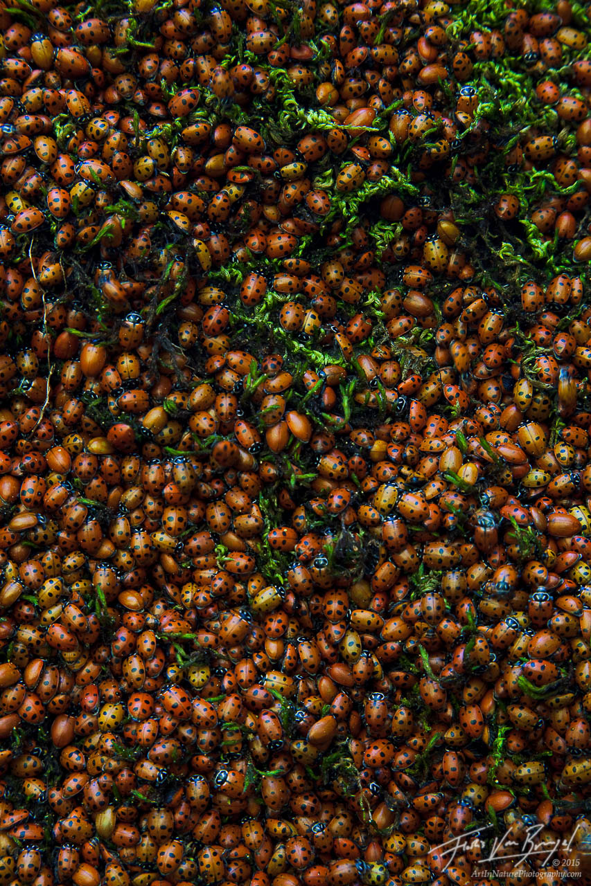 Ladybugs Roosting, Kings Canyon National Park, California, woodland ladies , photo