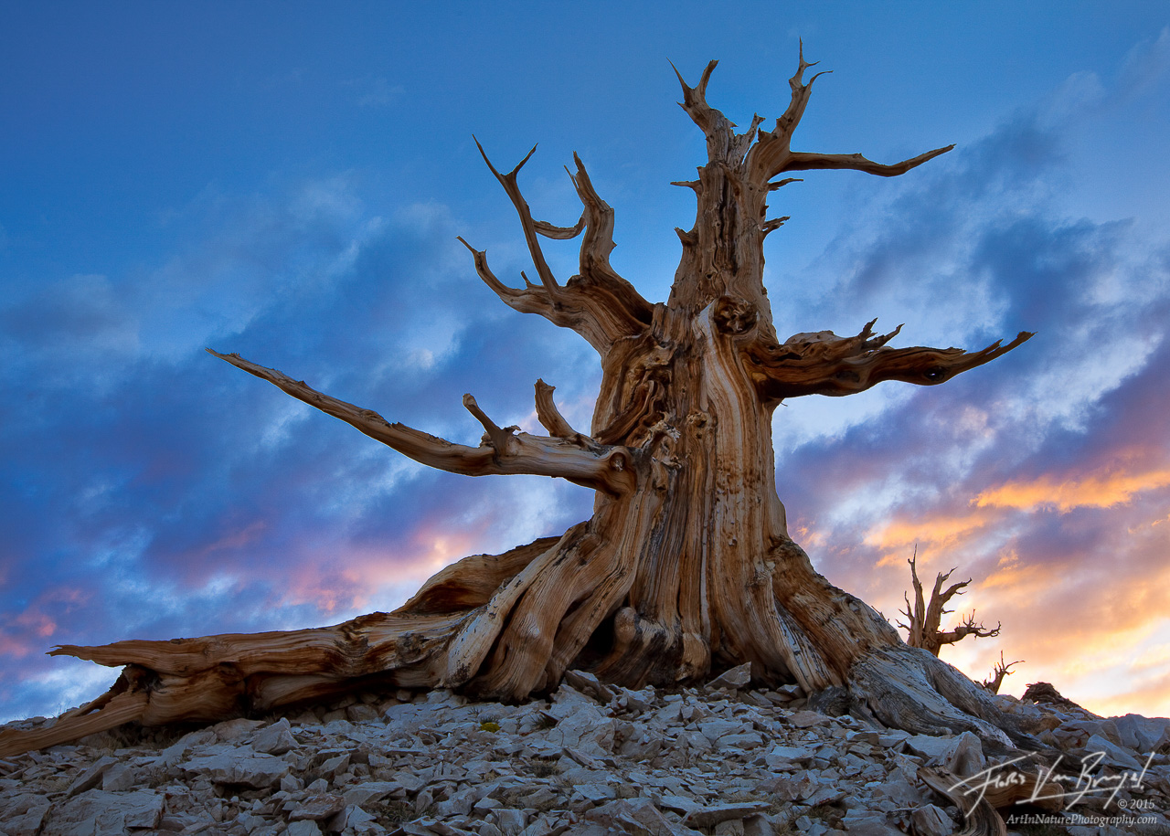 Ancient Bristlecone Pine at Sunset, White Mountains, California, guardian angel, photo