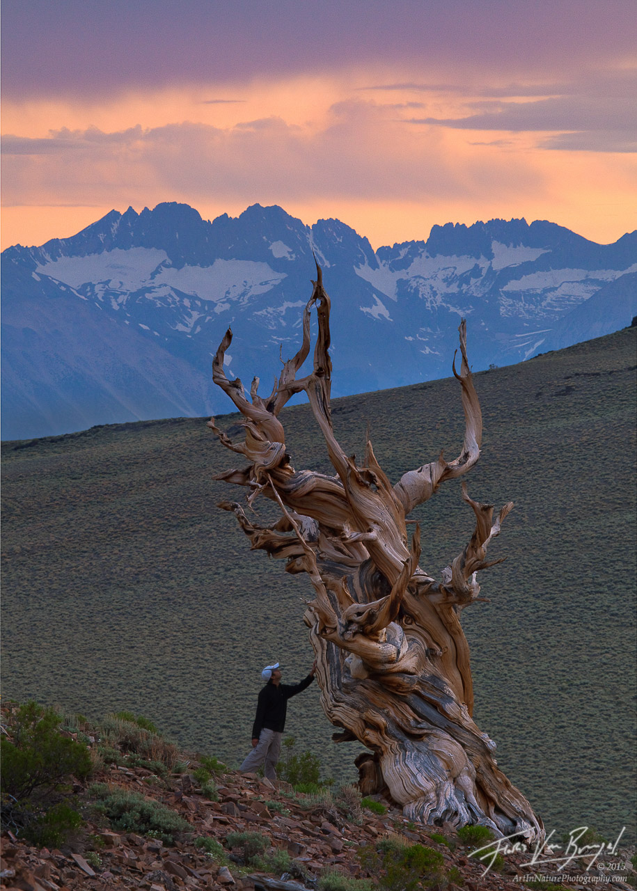 Hiker and Ancient Bristlecone Pine, White Mountains, California, awe and respect, sierra, photo