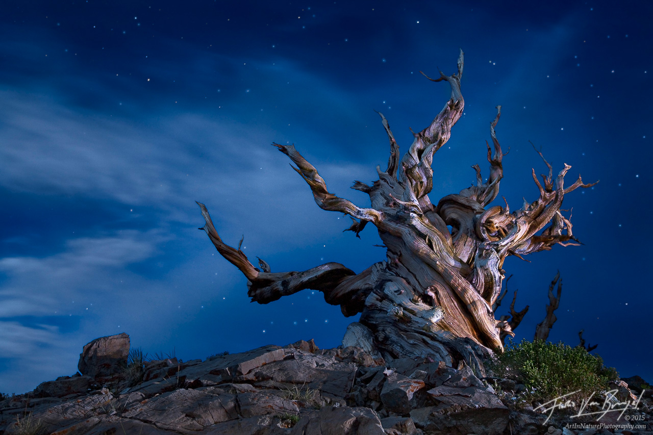 Ancient Bristlecone at Night with Light Painting, White Mountains, California, wicked witch of the west, Pinus aristata, photo