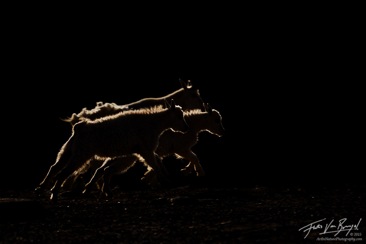 Mountain Goats on Mount Evans, Rocky Mountains, Colorado, running from the dark, backlit, photo