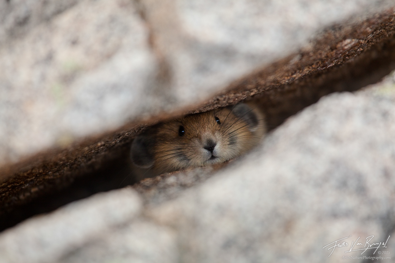 Pika in Rocky Crack, Rawah Wilderness, Colorado, pika(boo), photo