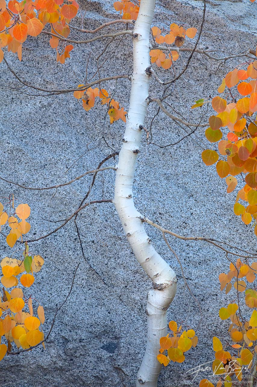 Fall Color Aspen, Eastern Sierra, California, autumn dancer,, photo