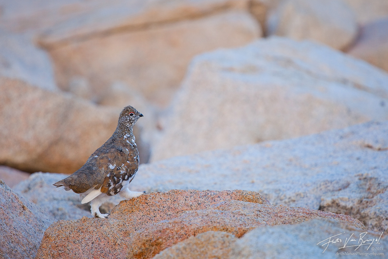 White-tailed Ptarmigan in John Muir Wilderness, Sierra Nevada, California, Lagopus leucurus,, photo