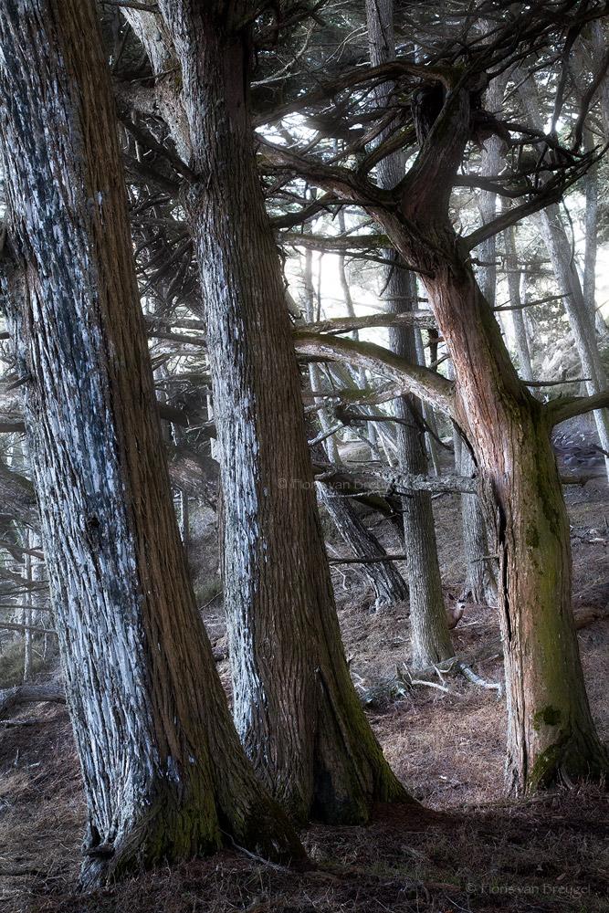 Haunted Cypress Forest, Point Lobos, California, buck, monterrey, photo
