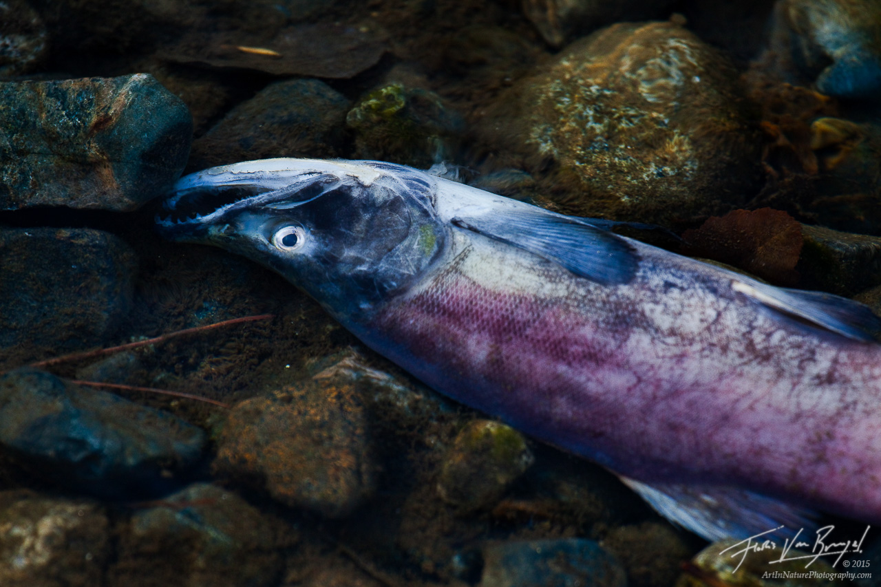 Kokanee Salmon Spawning, Taylor Creek Lake Tahoe, California, life giving death, photo