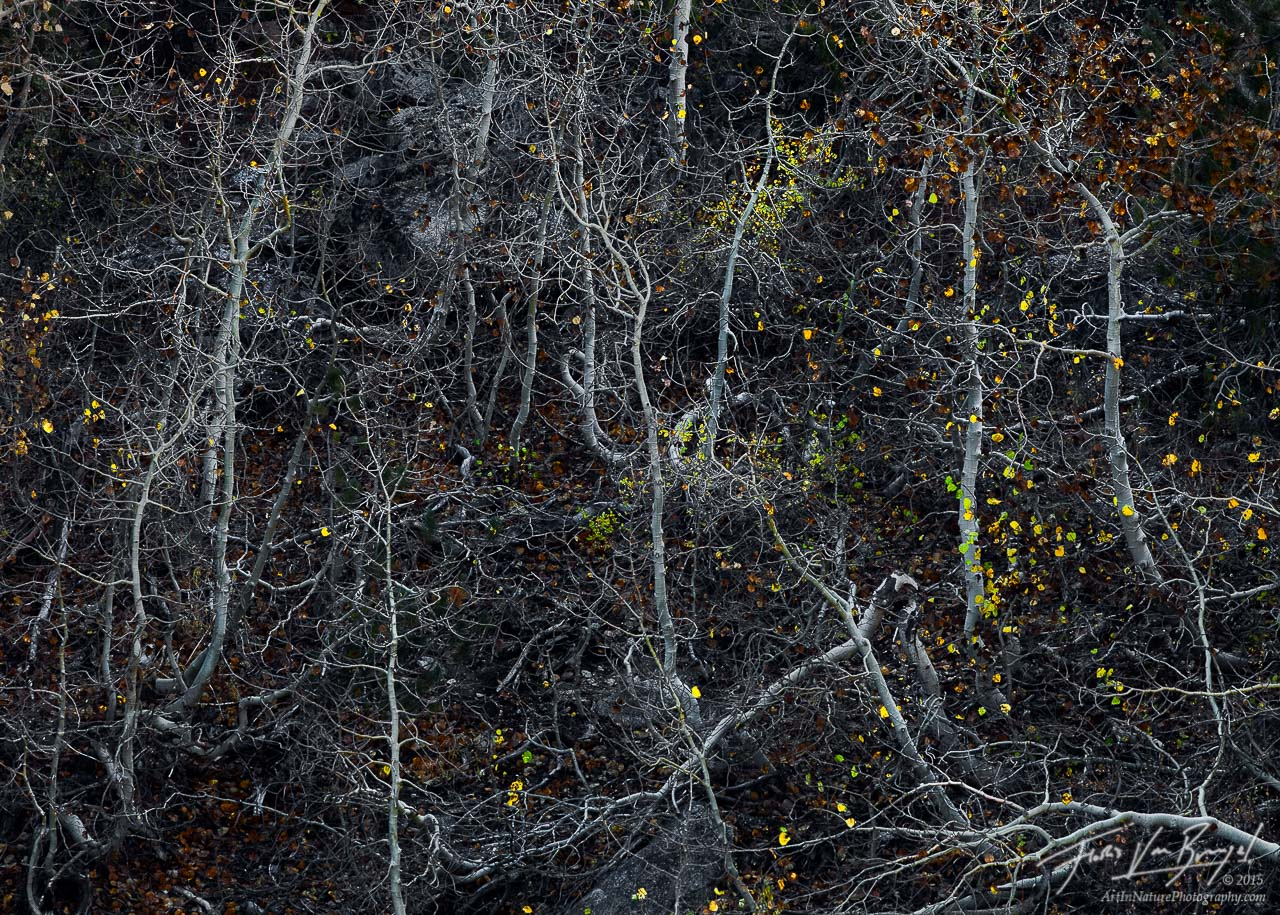 Tortured Aspen, Eastern Sierra, California, writhing, aspens, bishop creek, SAD, sudden aspen decline, climate change, , photo