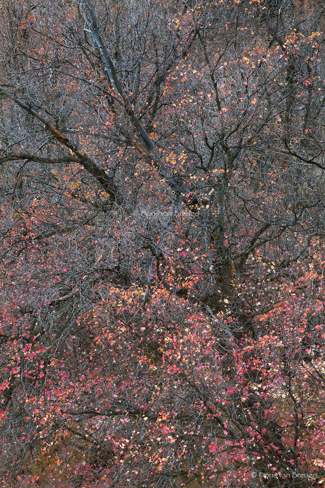 Fall Maples, Zion National Park, Utah, confetti, delicate, photo