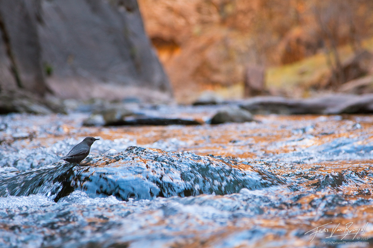 American Dipper in the Virgin River Narrows, Zion National Park, Utah, dipping in the narrows, Cinclus mexicanus, photo