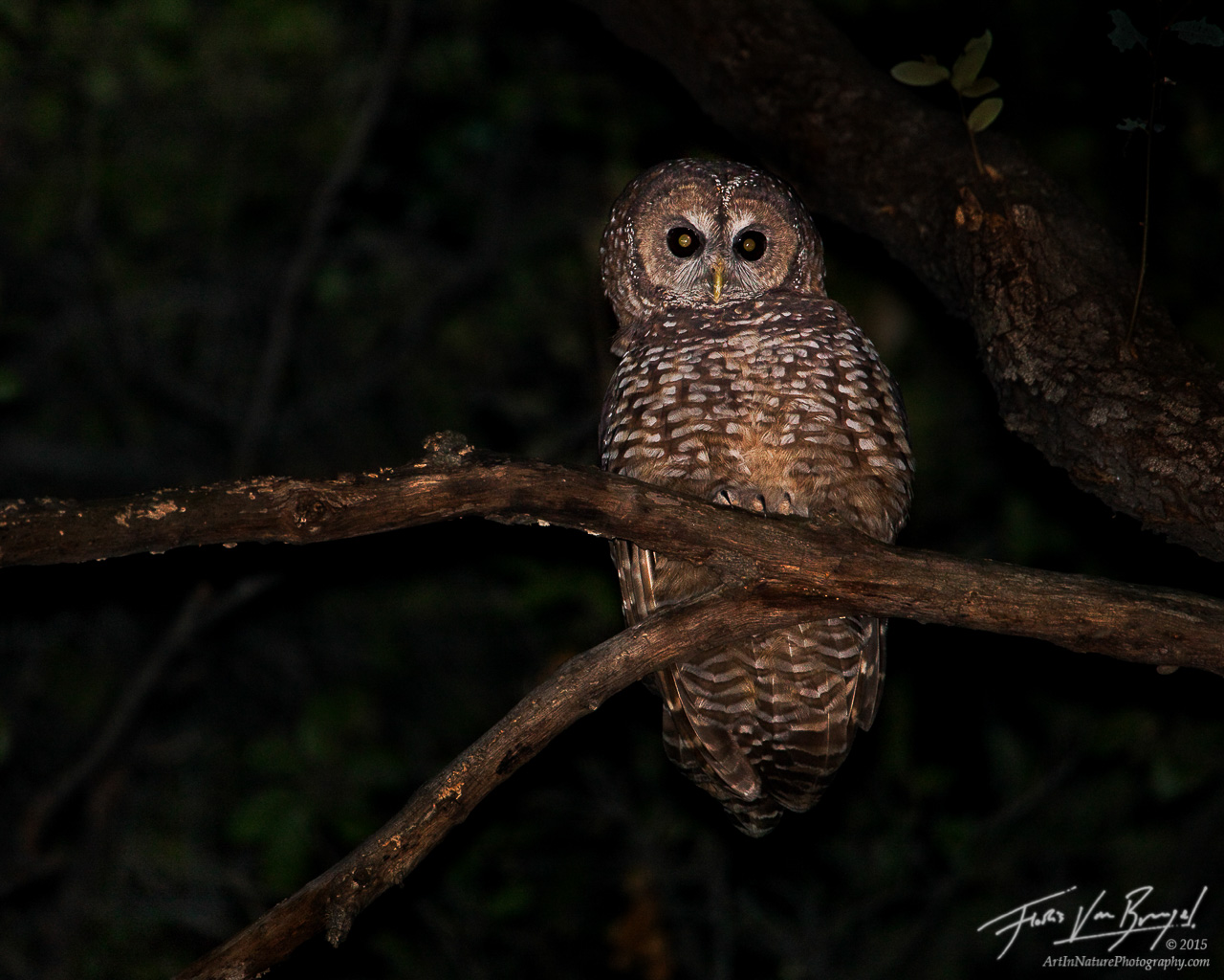 Spotted Owl Strix occidentalis, San Gabriel Mountains, California, IUCN, threatened, photo