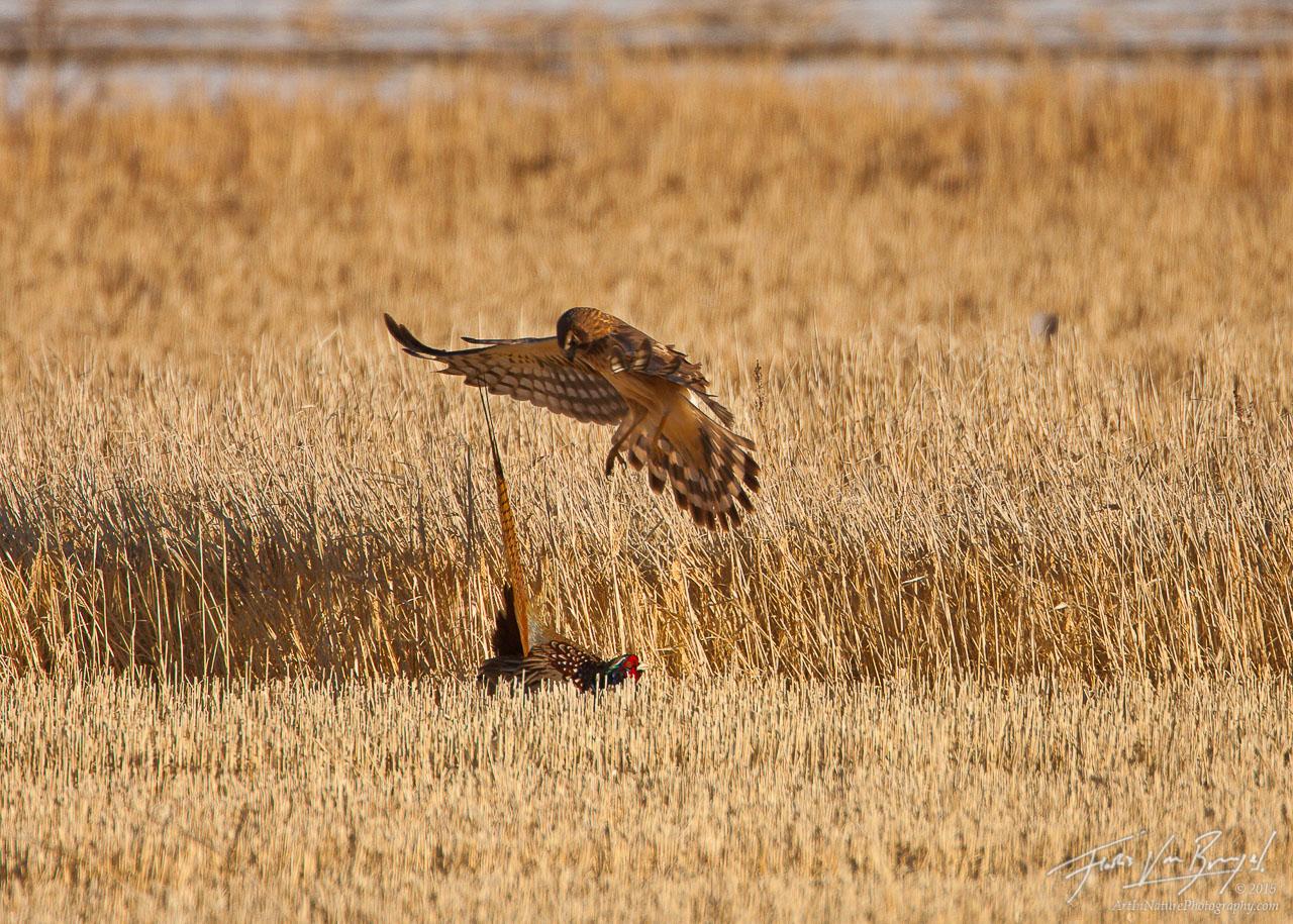 Northern Harrier Attacking Pheasant, Klamath National Wildlife Refuge, California, Circus cyaneus, Phasianus colchicus, , photo