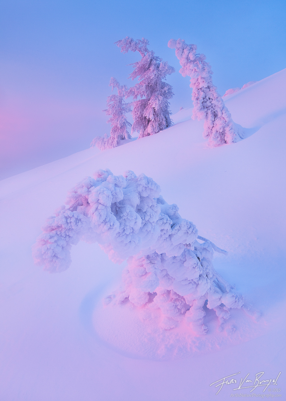 Snow and Rime Ice Trees, Drake Peak in Warner Range, Oregon, silently suffering, frozen, peaceful, pristine, photo