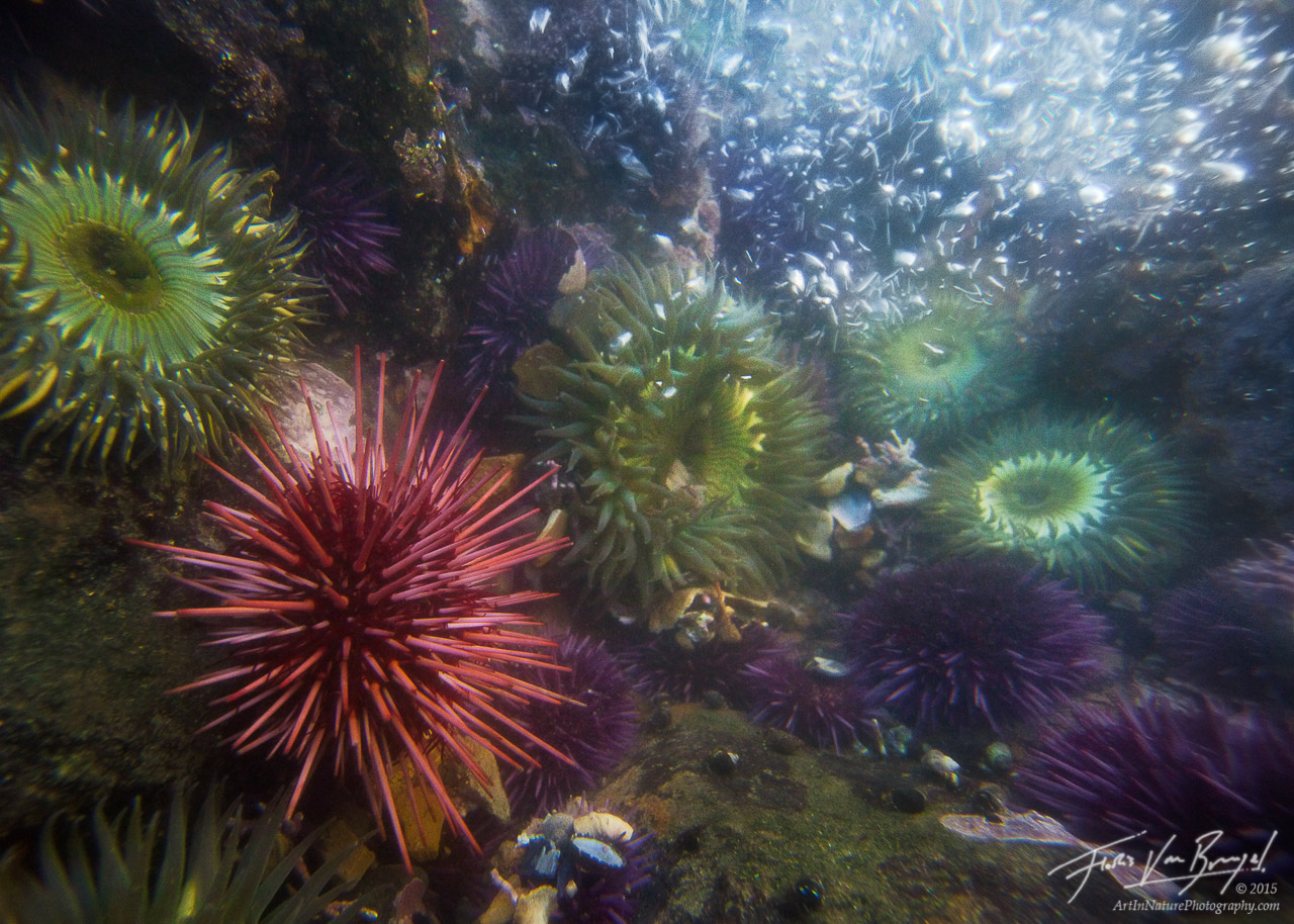 Sea Urchin in Tide Pool, Palos Verdes, California, urchin world, anemone, coast, waves, Anthopleura, Strongylocentrotus, photo