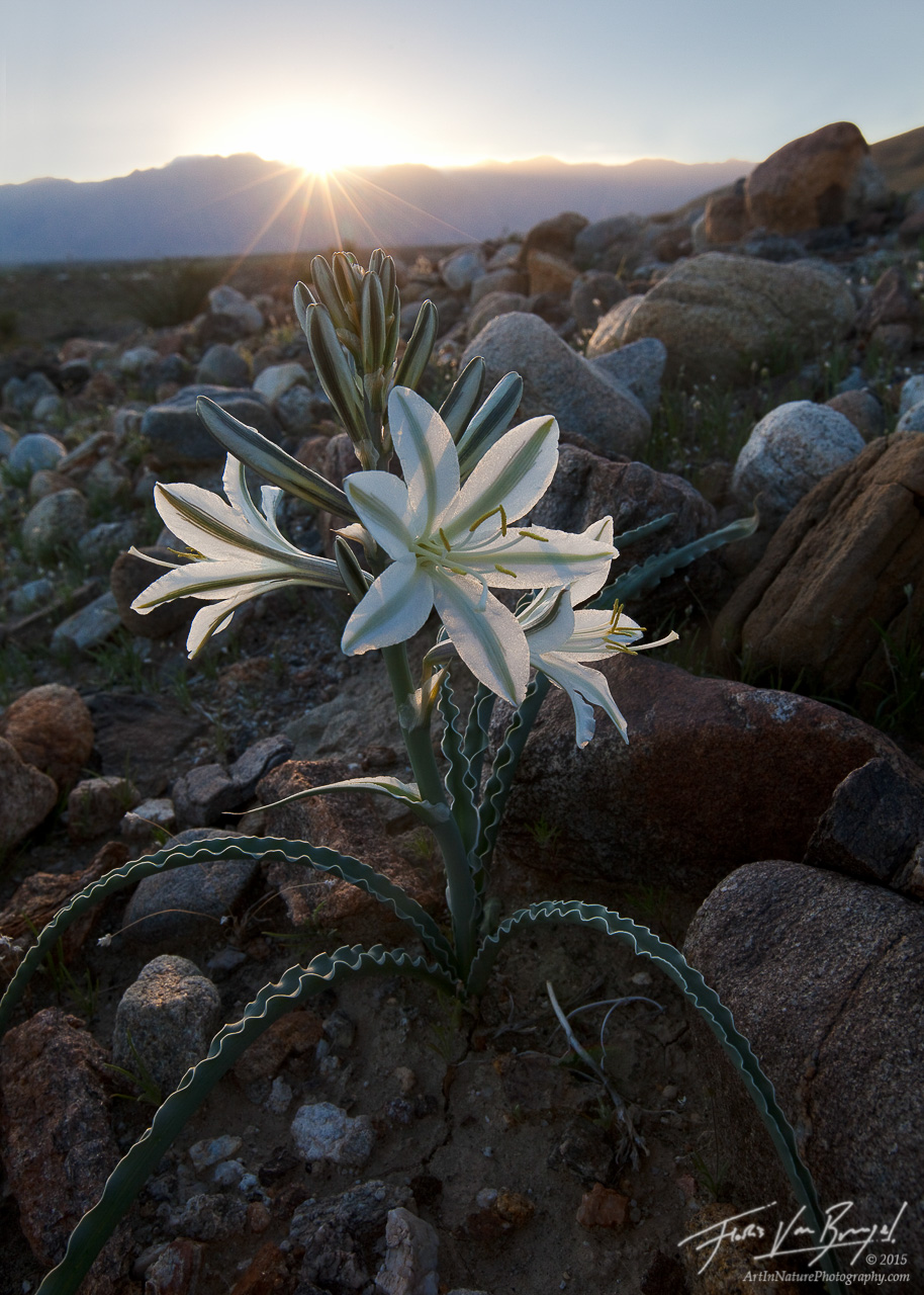 Desert Lily, Anza-Borrego State Park, California, Hesperocallis undulata, wildflowers, photo