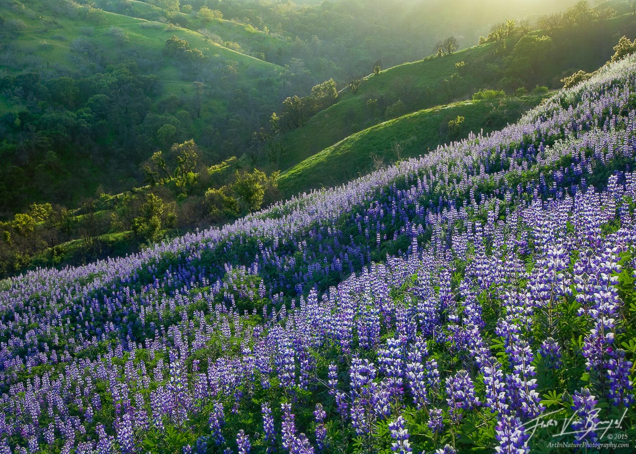 Spring Lupines, Santa Monica Mountains, California, spring fever, green, rolling hills, wildflowers, wildfire, photo