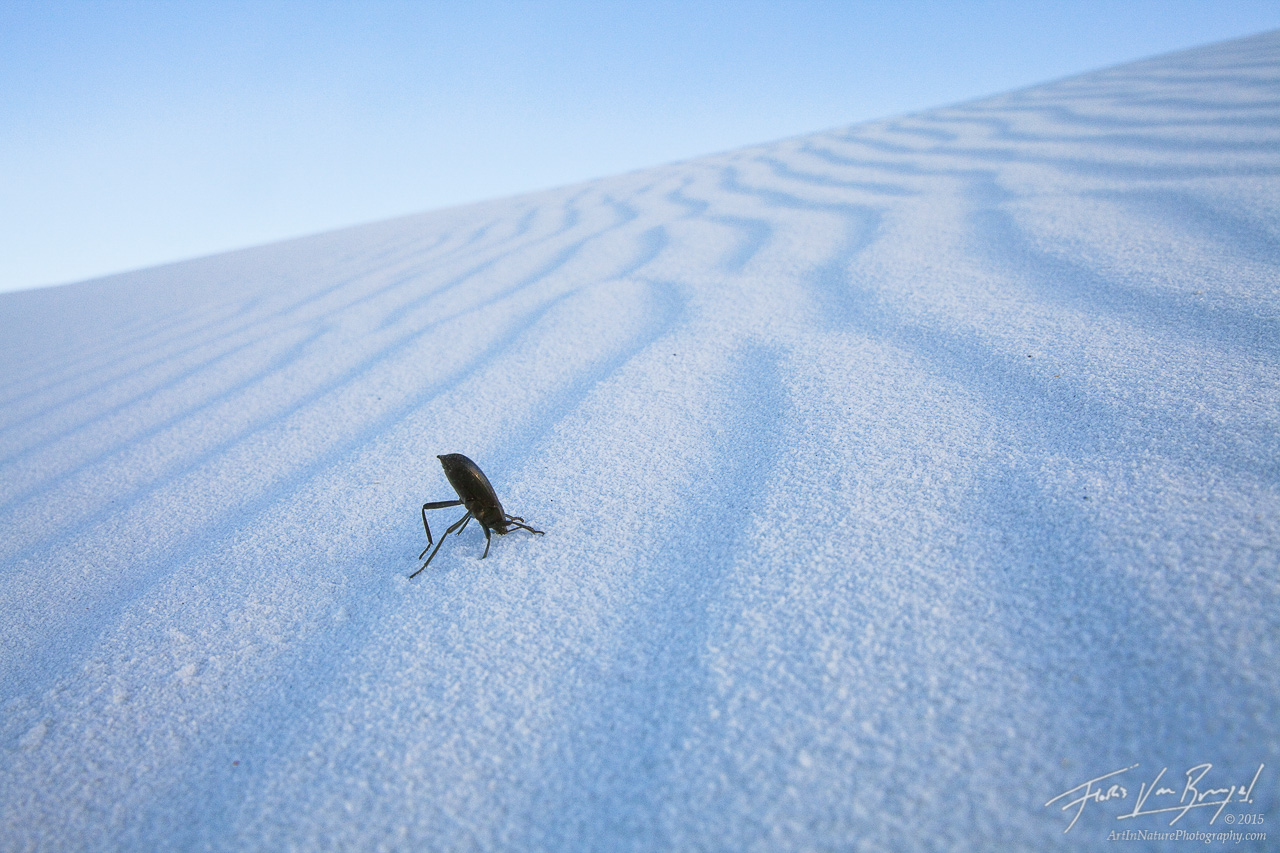 Darkling Beetle, White Sands National Monument, New Mexico, surreal struggle, darkling defense, photo