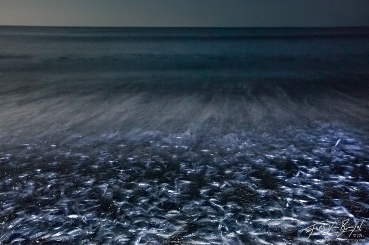 Grunion Run Spawning, Doheny State Beach, California, fish, , photo