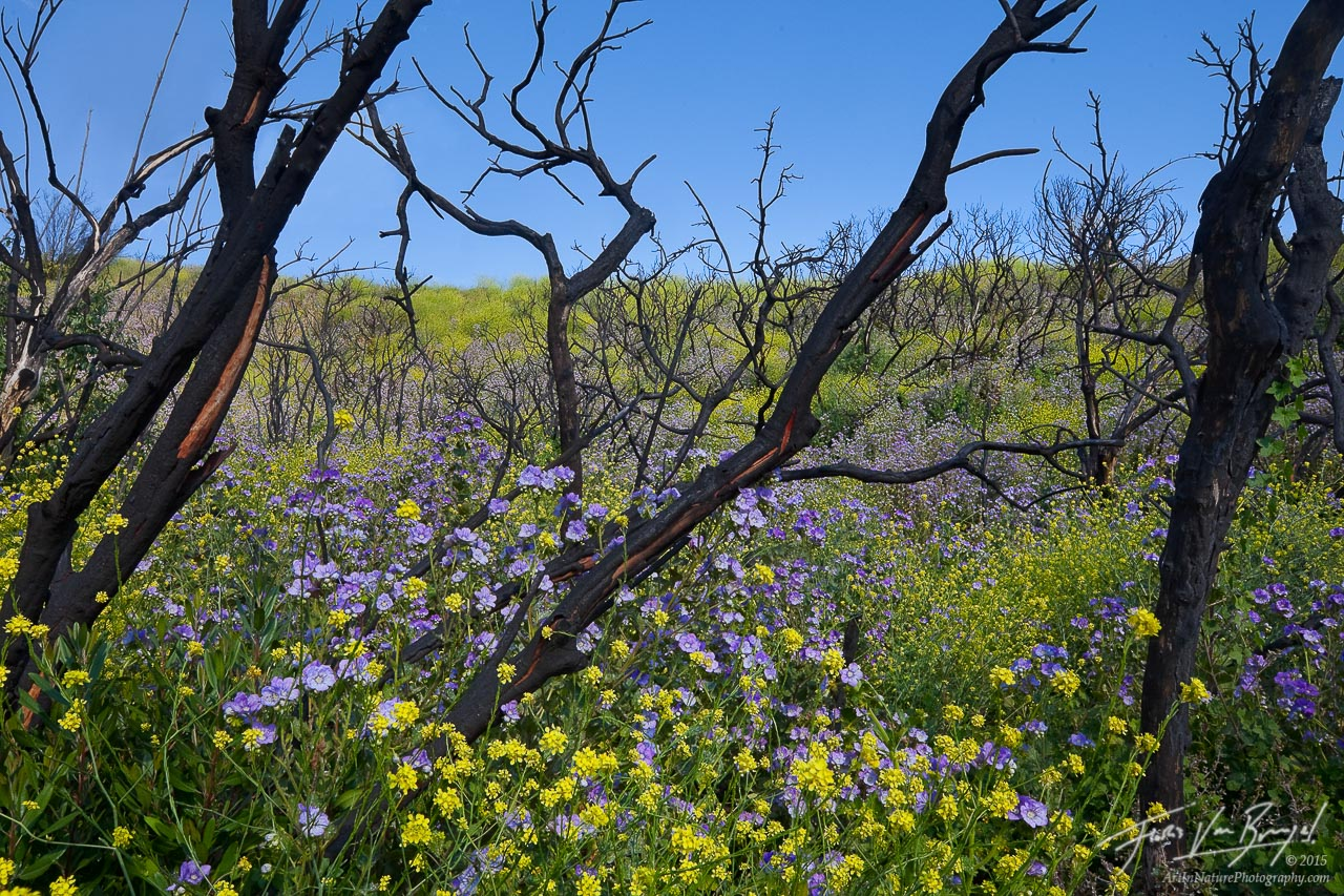 Flower Rebirth after Wildfire, San Gabriel Mountains, California, angeles national forest, station fire, flowers, spring, photo