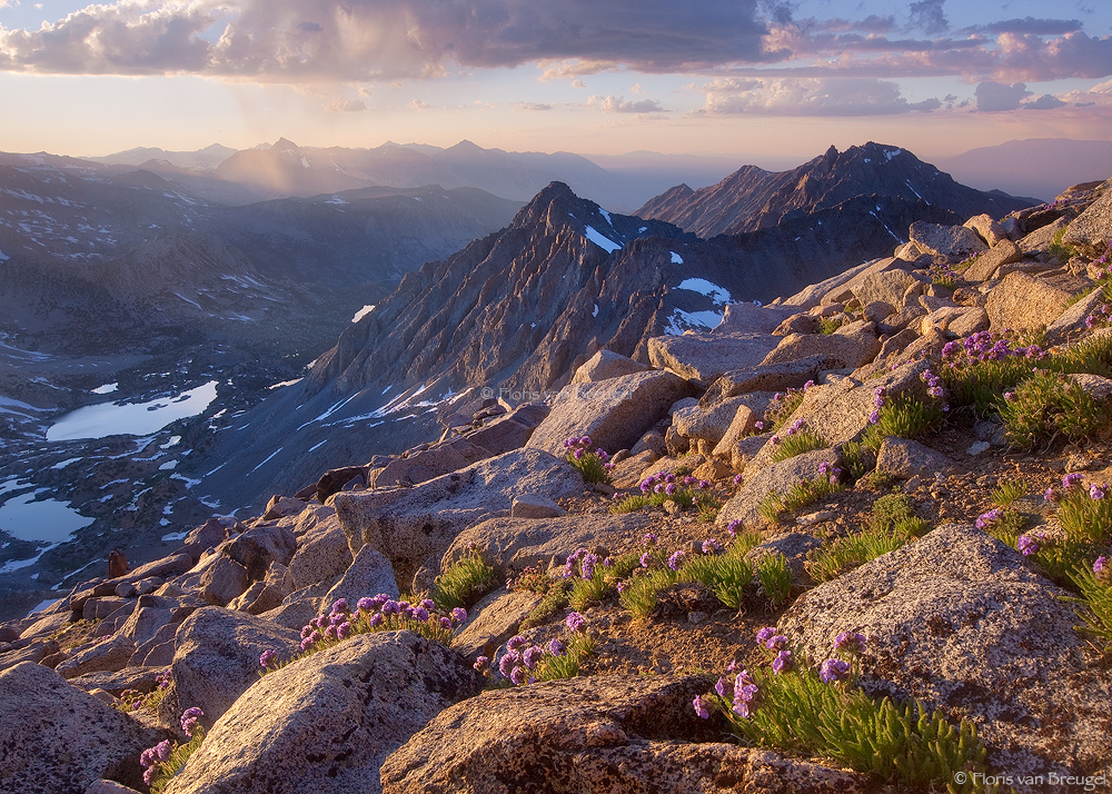 Sky Pilots on Mount Agassiz, Sierra Nevada, California, sierra summers, john muir wilderness, picture puzzle peak, flowe, photo