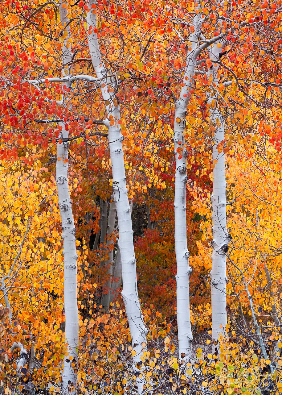 Red Fall Aspen, Bishop, California, aspen in flames, eastern sierra, photo