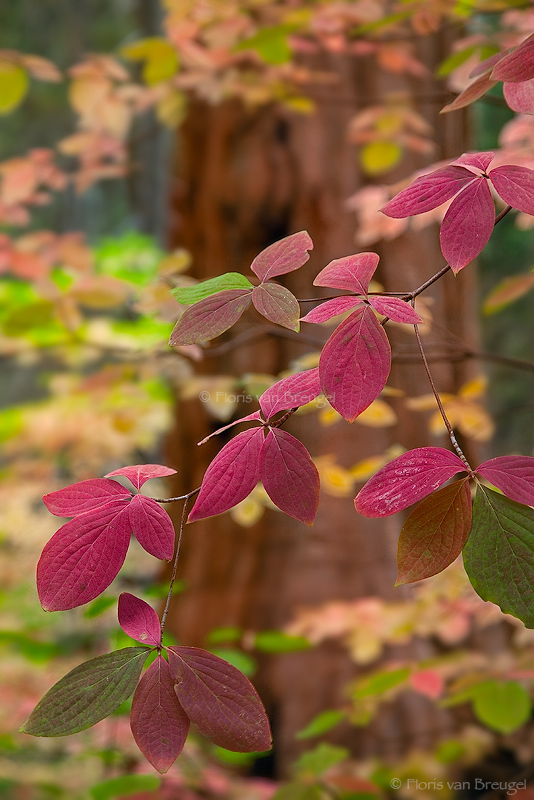 Fall Dogwoods, Sequoia National Park, California, autumn palette, photo