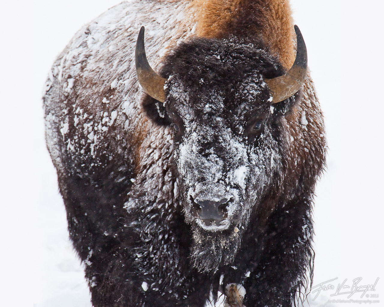 Snow Covered Bison, Yellowstone National Park, Wyoming, snowman, winter, bison, photo