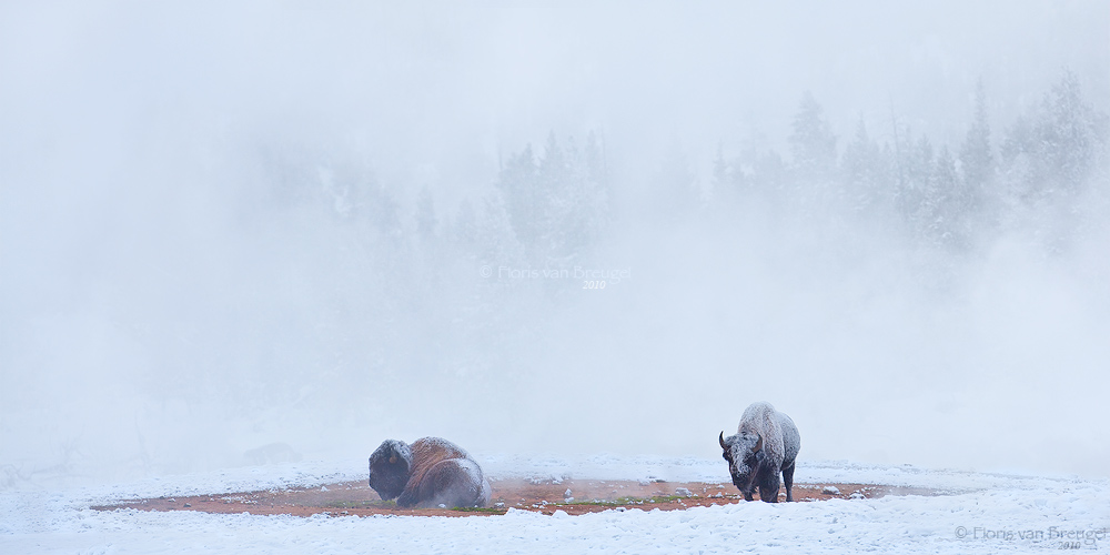 Bison in Geothermal Steam, Yellowstone National Park, Wyoming, bison steambath, bison, wyoming, winter, photo