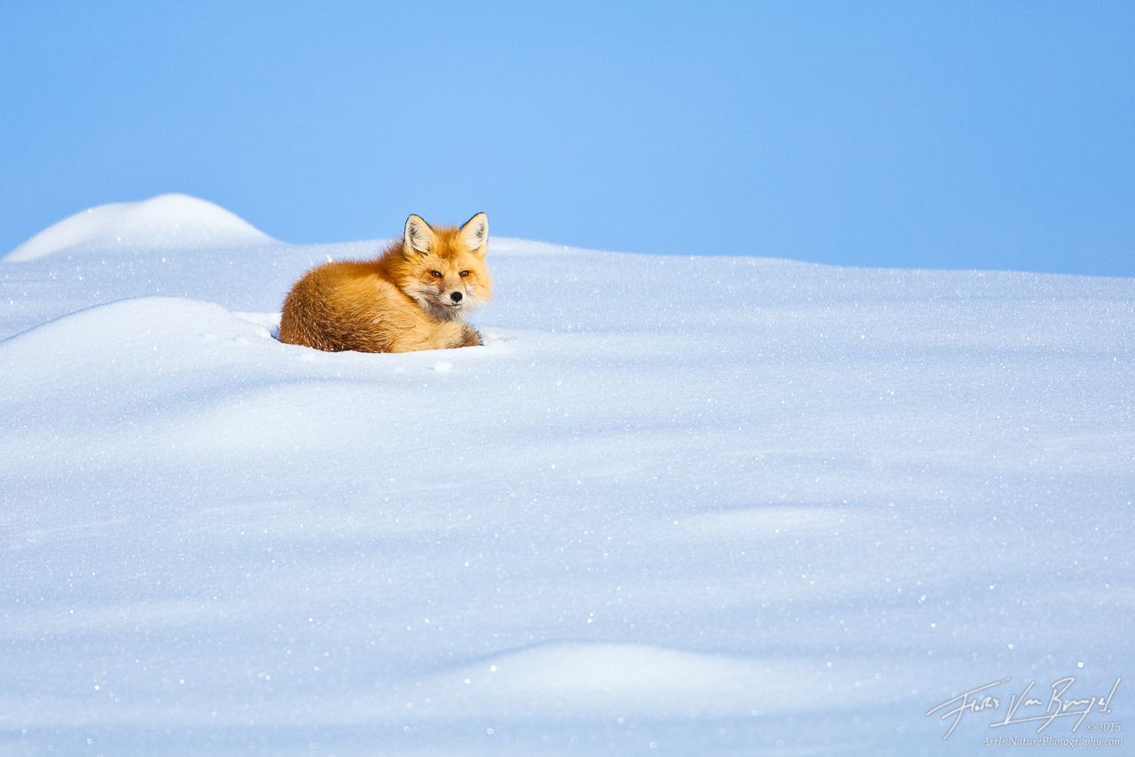 Red Fox in Snow, Lamar Valley, Yellowstone National Park, wyoming, snowy, photo