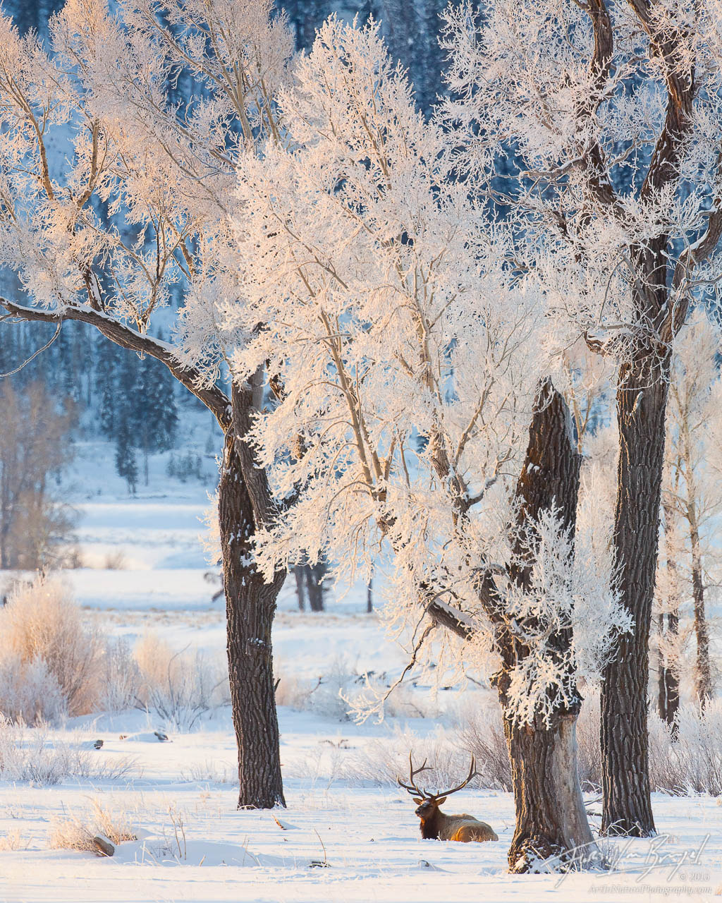 Bull Elk in Frost, Lamar Valley, Yellowstone National Park, frosty morning,, photo