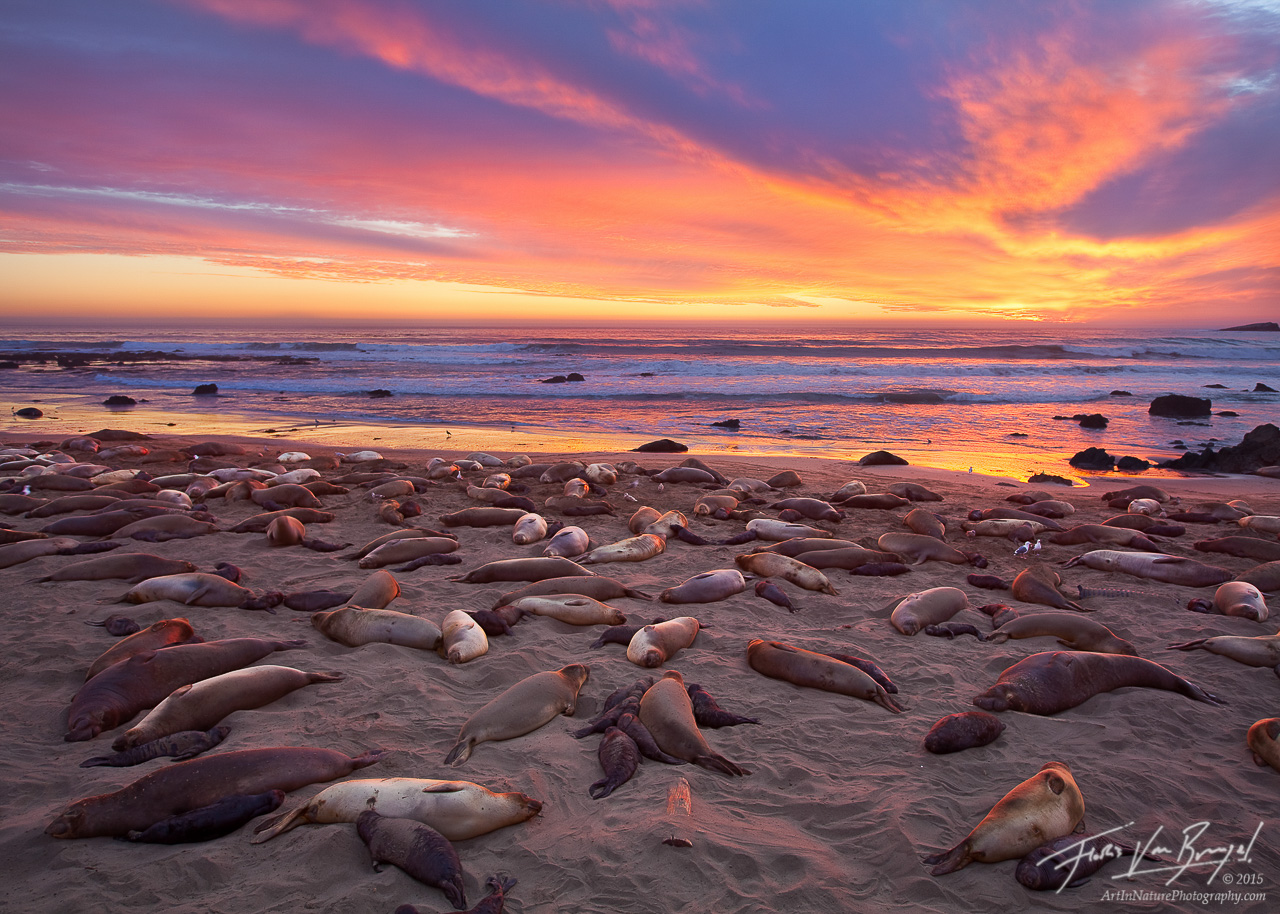 Elephant Seal Rookery at Sunset, Piedras Blancas, California, nursing, photo