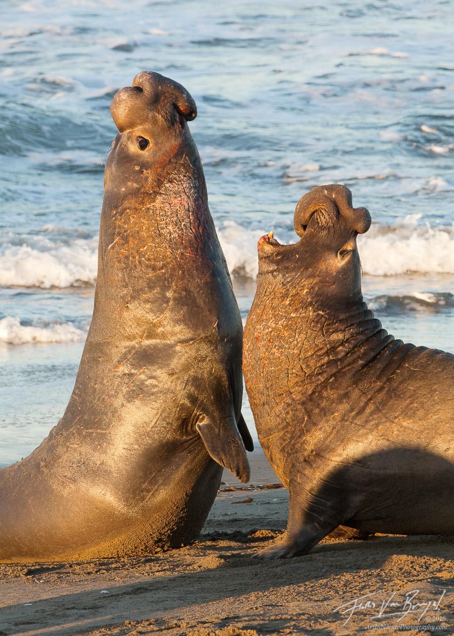 Fighting Bull Elephant Seals, Piedras Blancas, California, rookery, photo