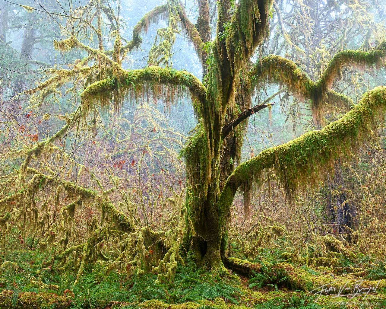 Hoh Rainforest Mossy Tree, Olympic National Park, Washington, Spirit of the Hoh, maple, fog, , photo