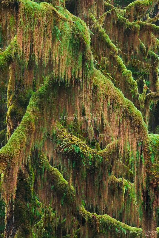 Hoh Rainforest Mossy Treebeards, Olympic National Park, Washington, Treebeards, maple, photo